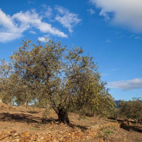 Productores - oliveras - pau - empordaturisme